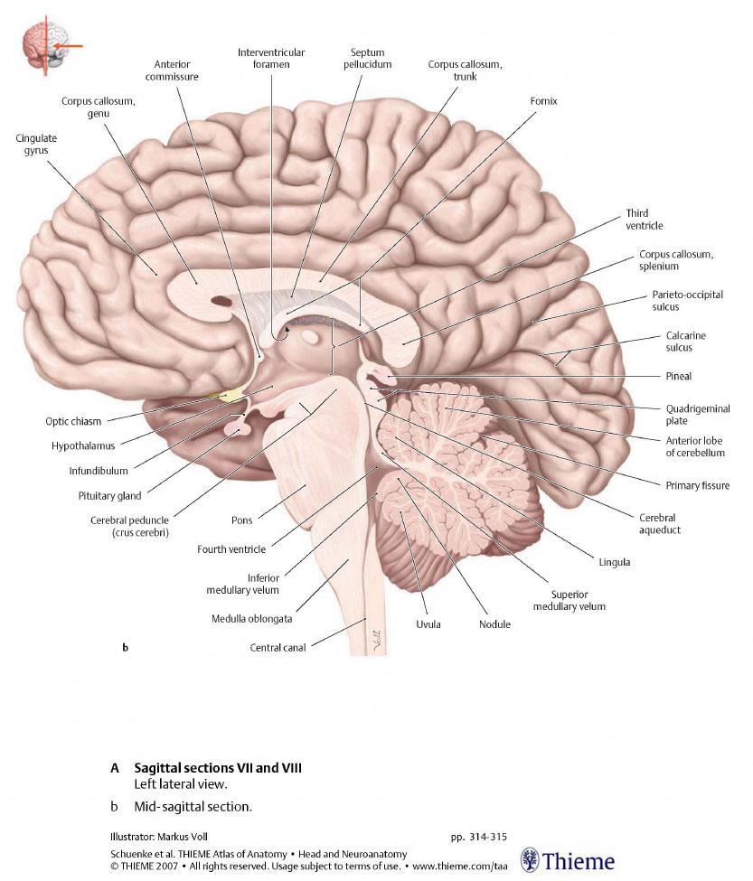 нормальная анатомия головного мозга